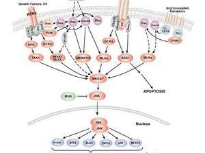 来氟米特抑制TNF和IL-17合成