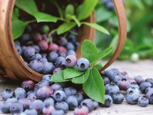 蓝莓有效降低高血压及动脉硬化