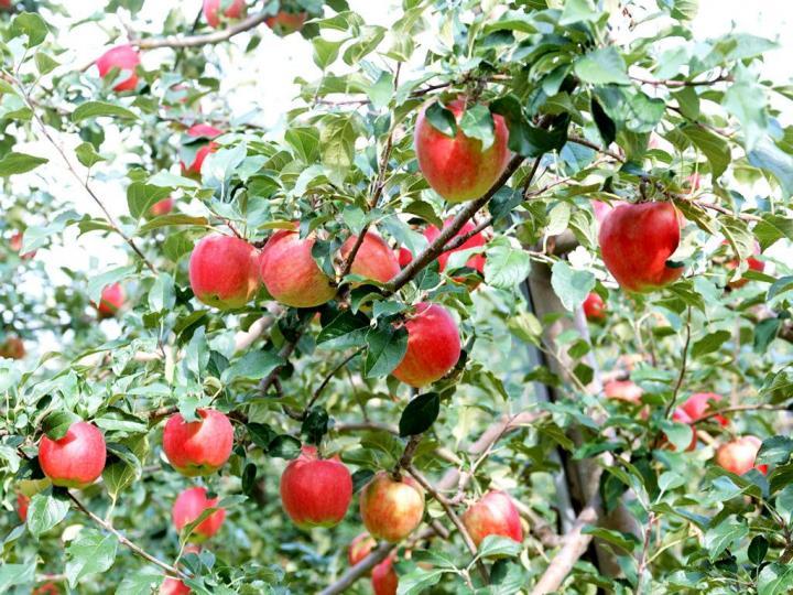 秋天时,长红叶子的苹果树在野外很常见,与现在人们种植的苹果树相比