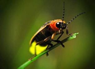 萤火虫点亮癌症治疗未来
